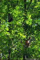 Bekantan di Hutan Mangrove Pulau Tarakan